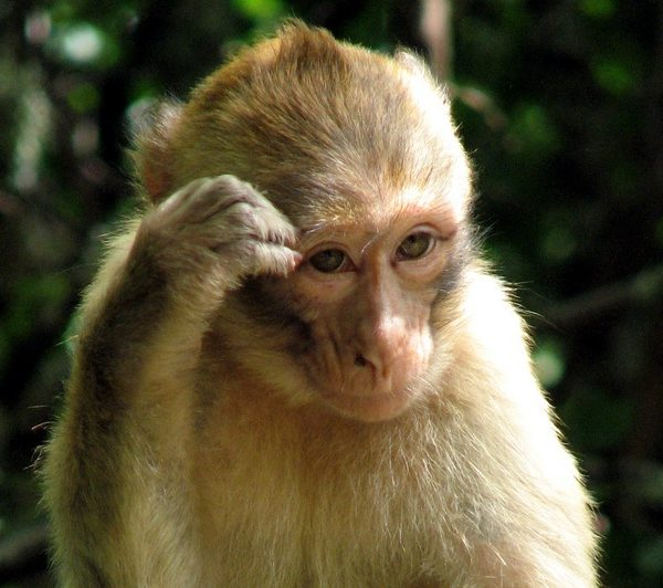 A Macaque monkey, the species used in experiments by Newcastle professors. Photo: Taylor Dundee