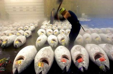 Loads of really cold Bluefin Tuna