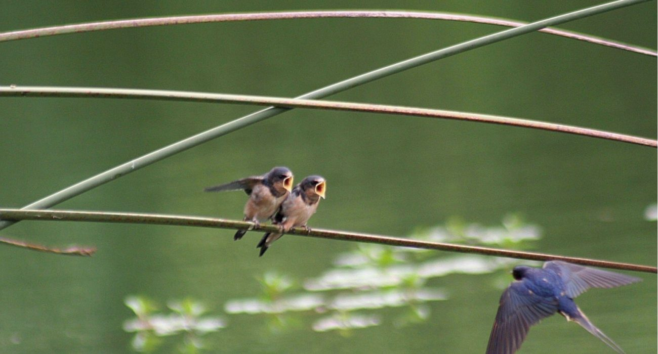 Nameless birds, thrushes maybe – blue-tits, swallows