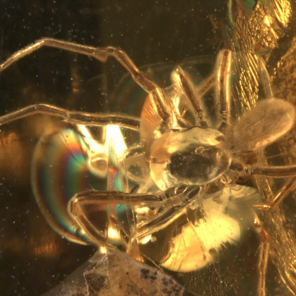 The mite on the spider's back, trapped in baltic amber